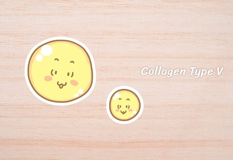 Collagen Type V